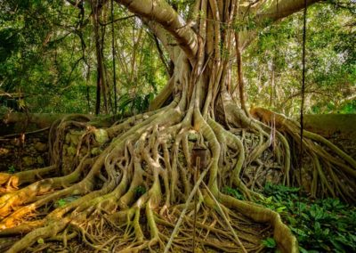 Banyan tree,Hacienda San Jose Cholul, Yucatan, Mexico