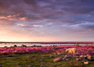 seal-river-heritage-lodge-polar-bear-pink
