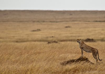 guepardo-en-serengueti_DSC_1445_1200px