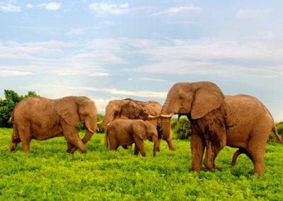 African-elephants-in-Chobe-National-Park-Botswana-Africa-Desktop-Wallpaper-HD-1024x768