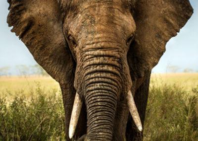 elefant-in-der-savanne