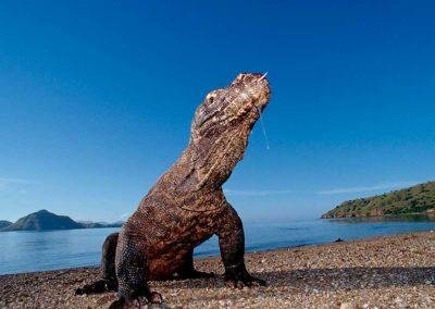 komodo-dragon-komodo-island-indonesia
