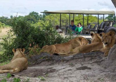 lions-game-drive-chobe