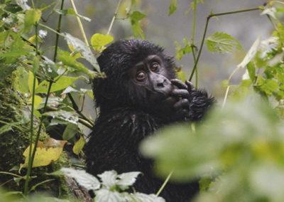 upclose-view-of-a-baby-gorilla-bwindi-national-park-uganda 2048