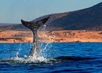 ballenas-en-el-mar-de-cortes